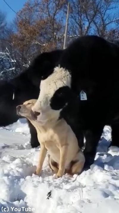 ワンコのことが大好きな牛03