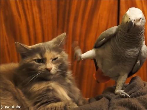 インコが猫にイタズラ01