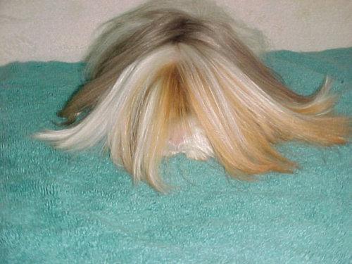 毛の長いモルモット03