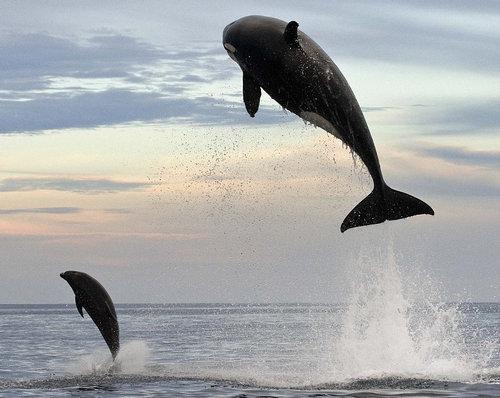 イルカを襲うシャチ01