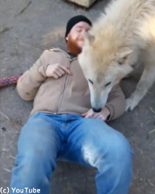 人間にベッタリのオオカミ01