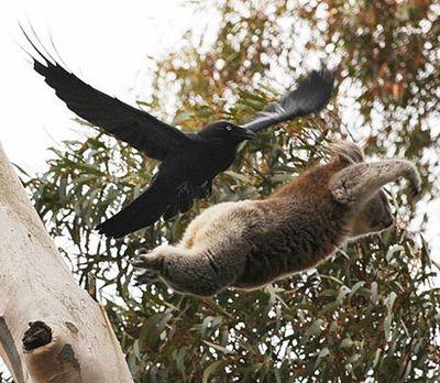 空飛ぶコアラ05