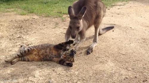 猫と遊びたいカンガルー01