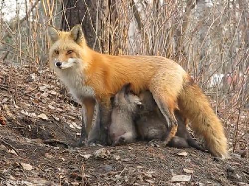 なんという母性!小熊にお乳をあげるキツネ03