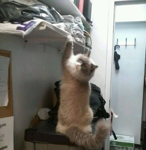 ホテルに勤続7年の猫が引退05