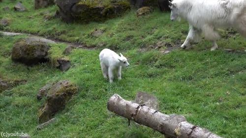 崖登りの練習をするヤギの子ども01