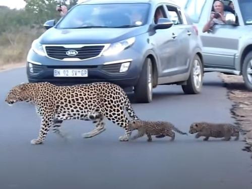 ヒョウの赤ちゃんたち