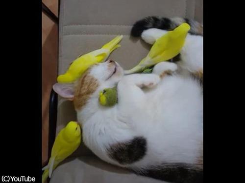 鳥にモテモテのにゃんこ00