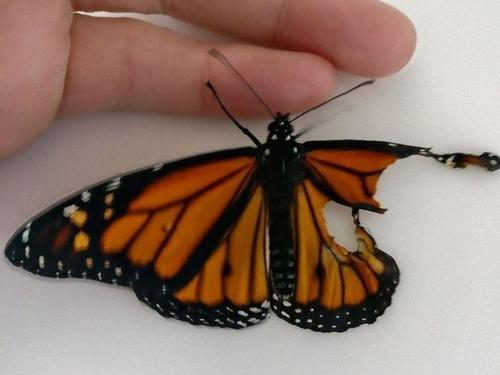 蝶の羽を移植00_e