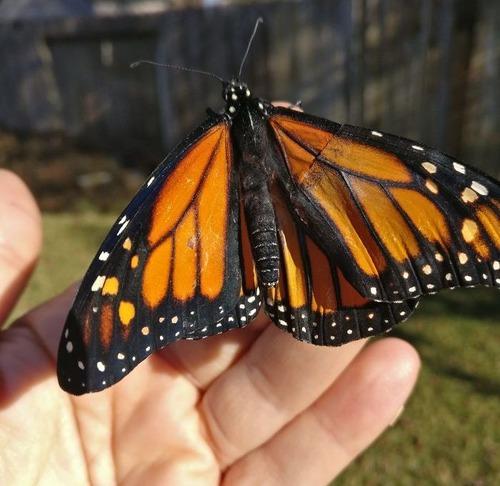 蝶の羽を移植04