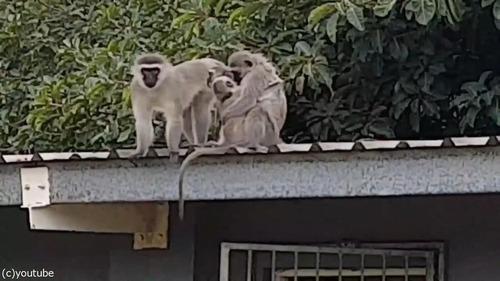 ケガした猿が家族の元へ07