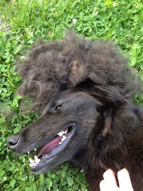 犬の毛変わり10