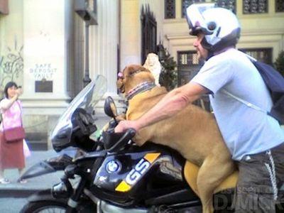 自転車やバイクに乗る犬たち11