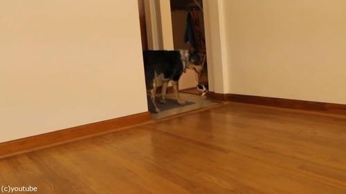 猫の赤ちゃん、義理のお母さんとなった「犬」の後を歩く01