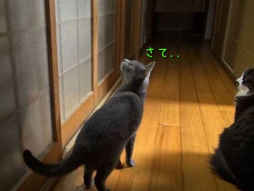 ガラス戸を開けて欲しい猫00