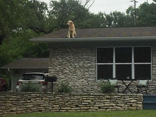 屋根の上にいる犬00