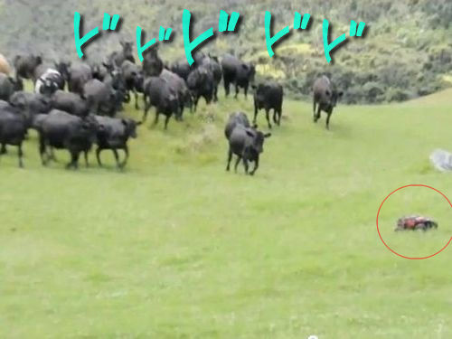 ラジコンと牛