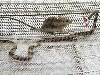 餌のネズミがヘビを殺すTOP