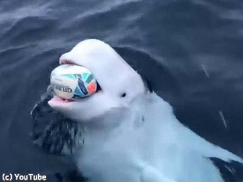 ボール遊びを楽しむシロイルカ00