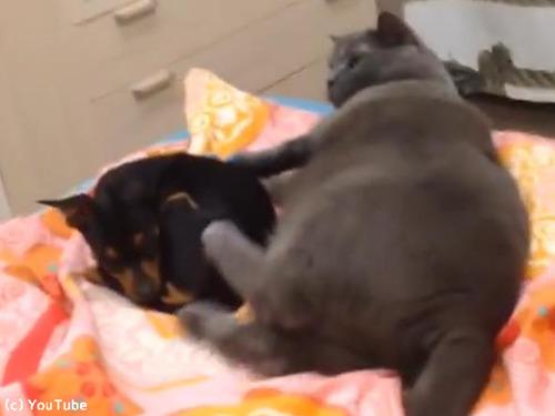 猫と一緒に寝たい犬00