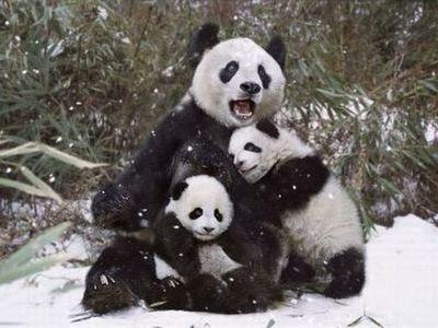 雪で大はしゃぎのパンダ親子00