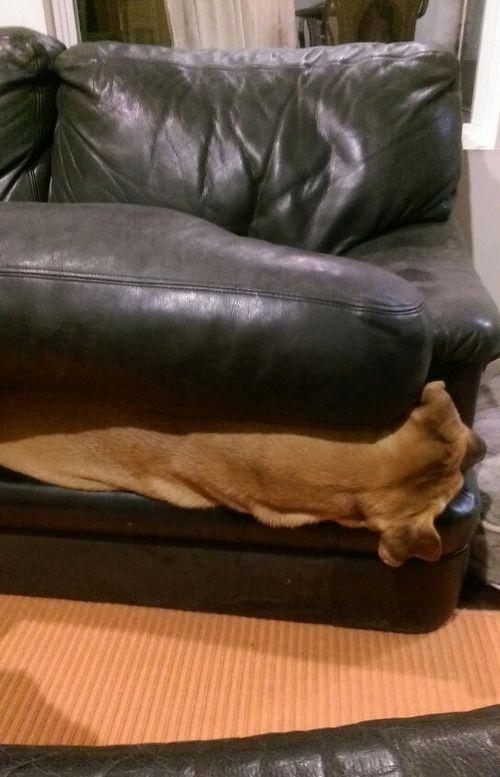 ソファの上を禁止された犬03