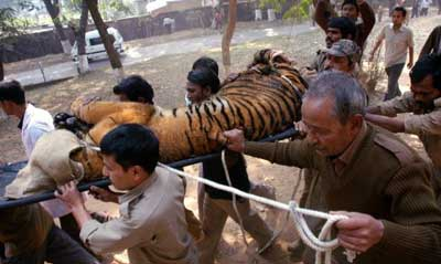 虎が動物園から抜け出し1万人が逃げる01