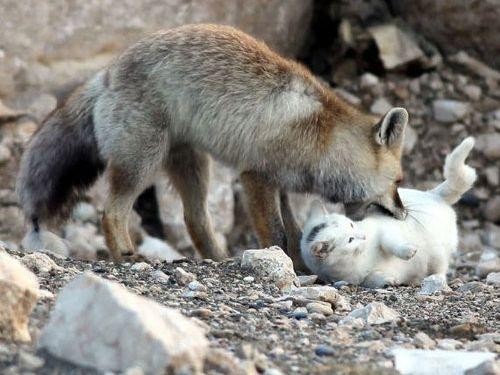 キツネと猫が仲良しに01