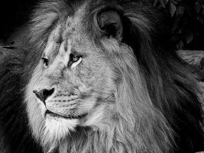 ライオンの顔