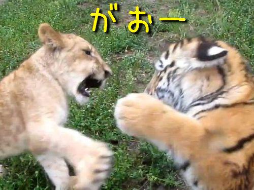 虎とライオンの赤ちゃん対決