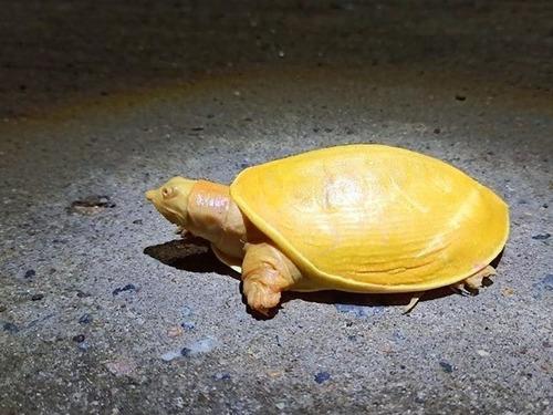 神々しい黄色の亀が発見される00