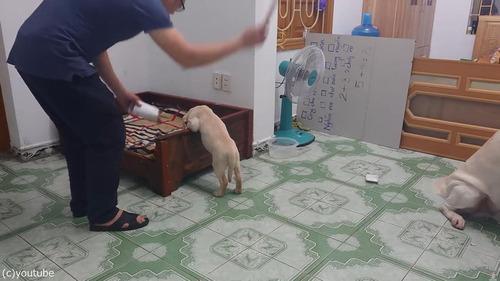 子犬をしかろうとしたら、親犬が守る01
