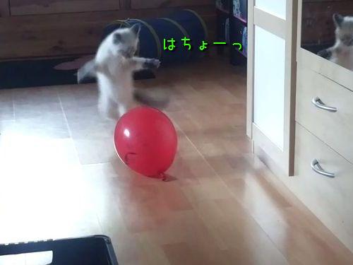 風船と戦う猫00