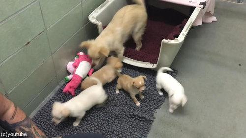 ママ犬が4匹の子犬と再会09