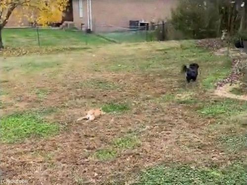 犬の赤ちゃんが追いかけっこの途中でパタリ03