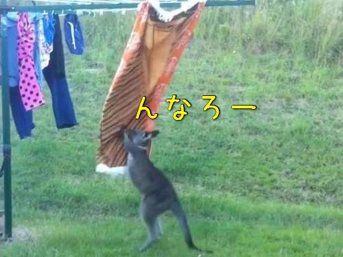 洗濯物とカンガルー00
