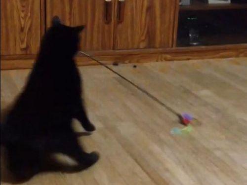 遊んでるうちに目まわす猫01
