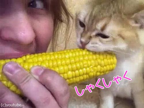 トウモロコシ猫00