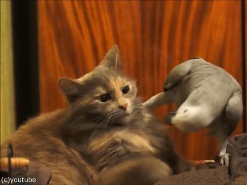 インコが猫にイタズラ03