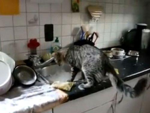 皿洗いをする猫01
