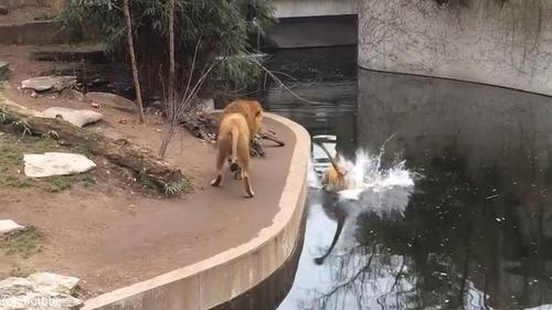 ライオンのうっかりミス03