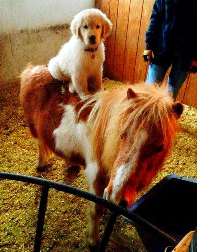 馬に騎乗する犬02
