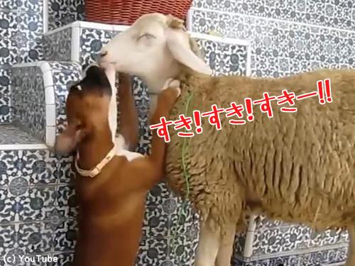 羊を愛してやまないボクサー犬の赤ちゃん00