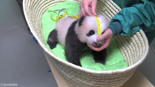 赤ちゃんパンダの身体検査03