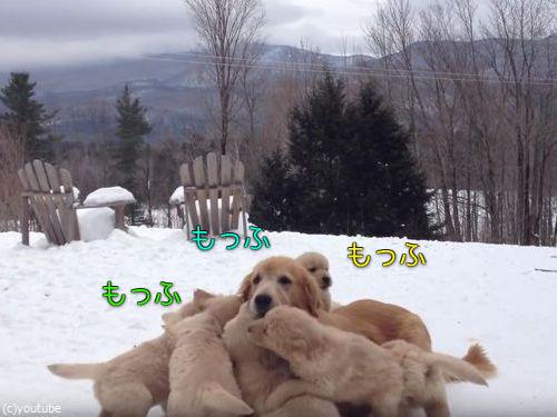 ママ犬とじゃれる子犬たち00