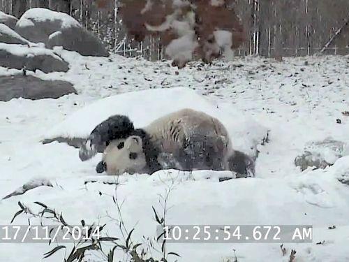パンダが斜面をすべる01