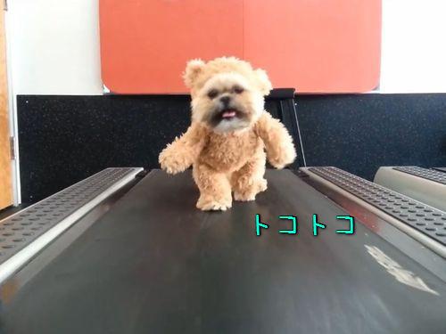 テディベアを着たシーズー犬がルームランナーを歩く00