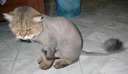 顔以外の全身を剃られた猫04