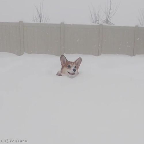 雪遊びコーギー02
