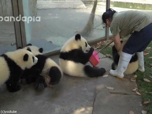 子パンダたちの前で掃き掃除00